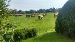 Wiese & Kühe